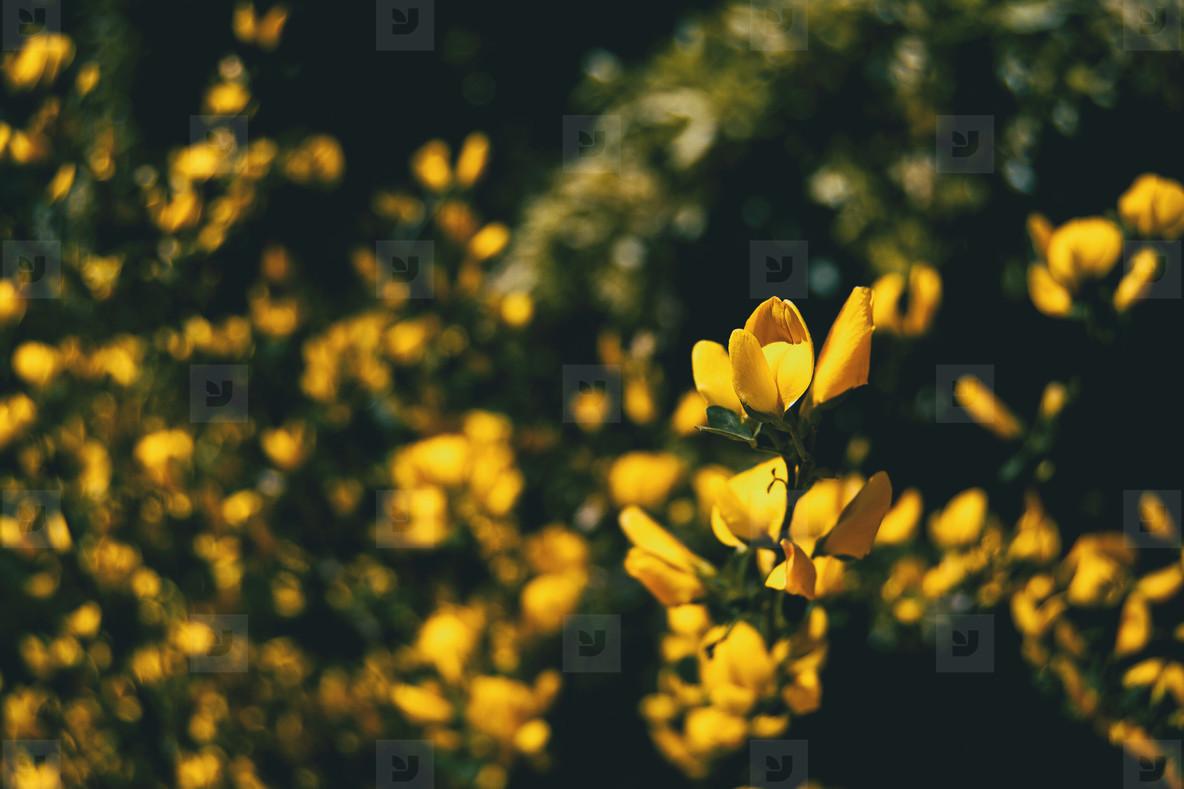 many yellow flowers of genista