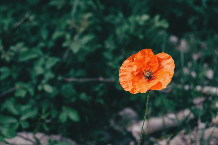 a single red poppy seen up close