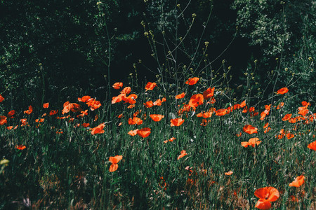 a field red poppies