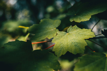 summer green leaves of acer