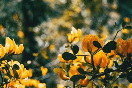 Yellow genista flower in nature