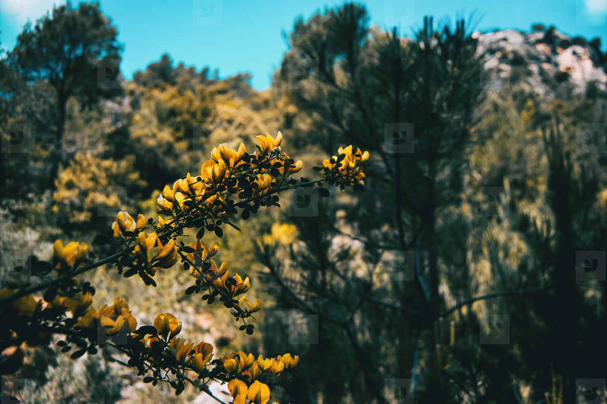 Yellow genista flower in nature