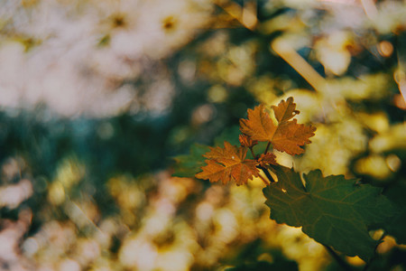 autumnal orange leaves of acer
