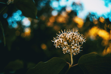inflorescence of the white cornus flower
