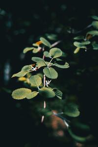 green ulmus leaves illuminated by sunlight