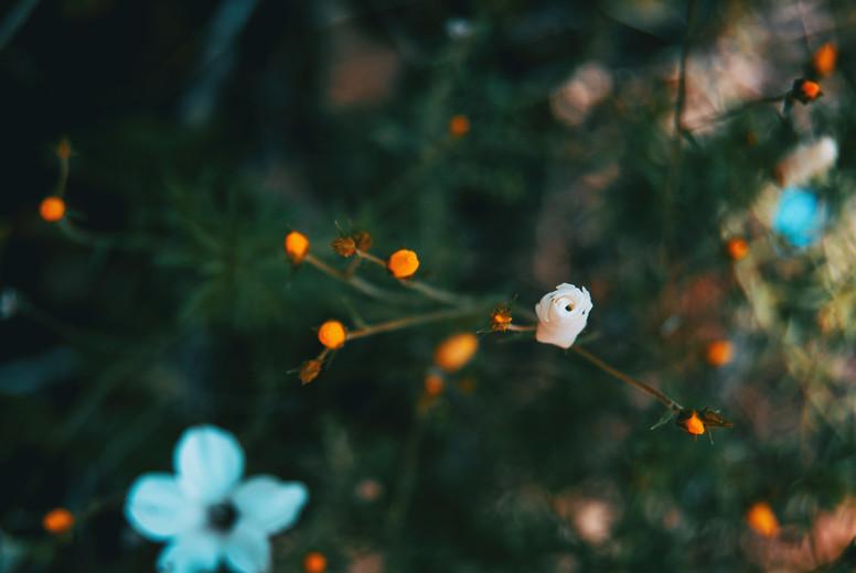 white linum suffruticosum flowers