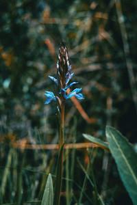 lilac dactylorhiza flower
