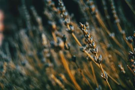 spike of lavandula in a lavender field
