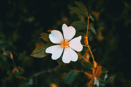Detail of a white flower of cistus salviifolius