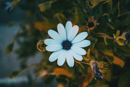 a single white osteospermum flower