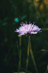 lilac flower of knautia arvensis in the field