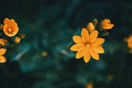 yellow blackstonia perfoliata flower