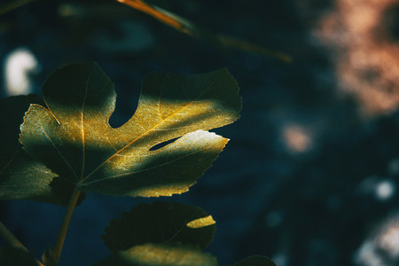 a fig leaf with shadows and lights