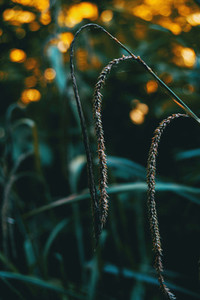 close up image of a carex pendula