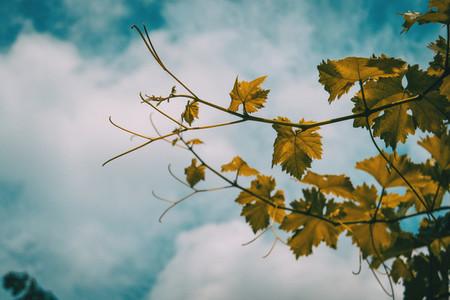 vitis vinifera leaves on a background of the blue sky