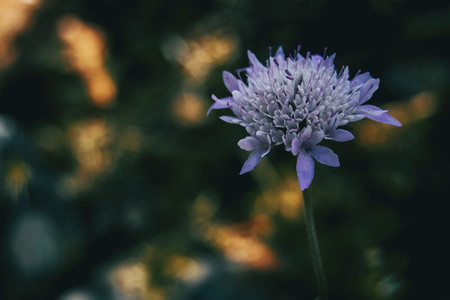lilac flower of knautia arvensis on a sunny day
