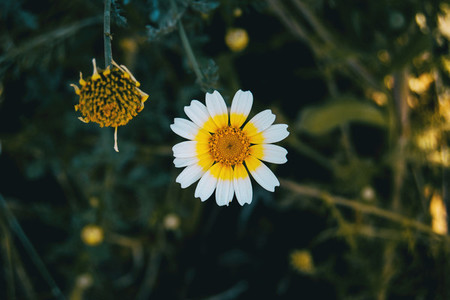 a single white glebionis coronaria flower on a dark background
