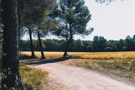 nice yellow field with trees