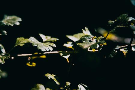 branch with leaves of Liquidambar styraciflua