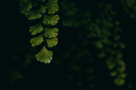 Adiantum capillus branch on dark background