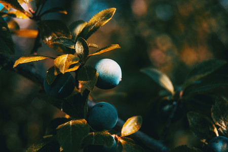 prunus spinosa fruits on a small branch