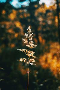 Agrostis silhouette illuminated by sunlight