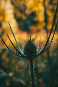 Dipsacus fullonum dried flower