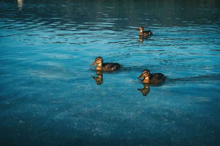 ducks swimming calmly in the lake of banyoles