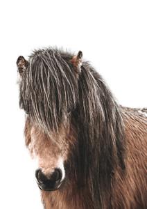 Icelandic Horse Iceland