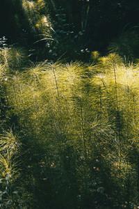 green equisetum telmateia plant