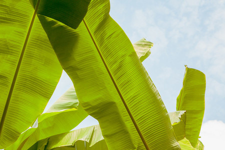 Group of big green banana leaves in sunshine on sky background