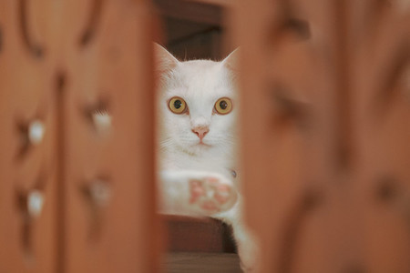 Portrait of Pure White Cat lying on Thai traditional wood stairs