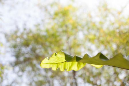 Big one of tropical leaf in sunshine on blur tree background