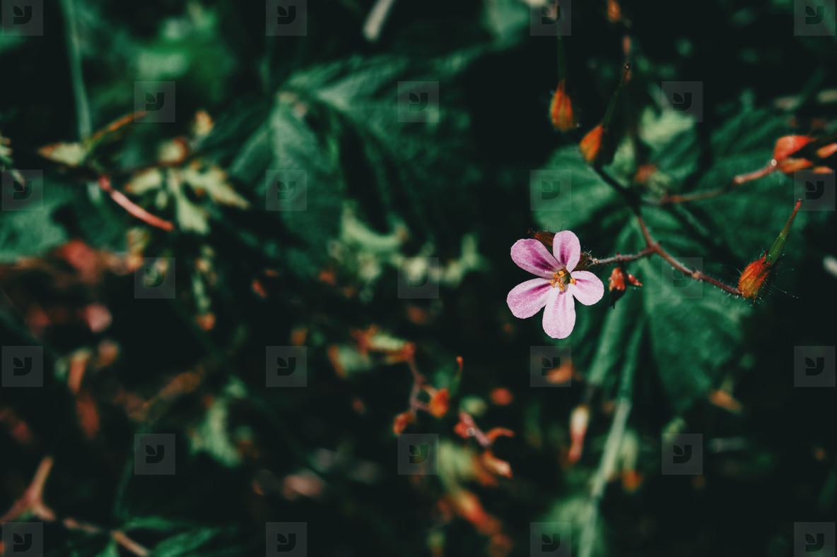 small lilac geranium flower