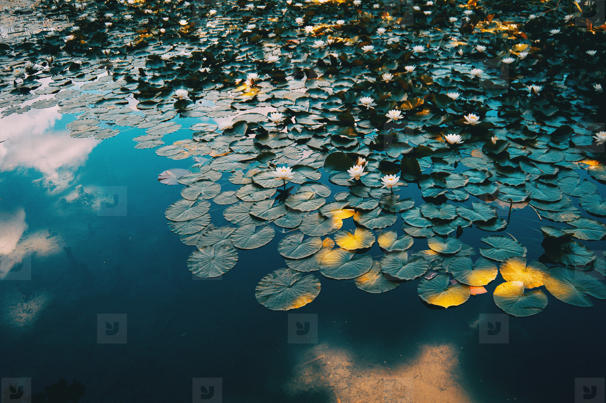 Nymphaea leaves and flowers floating
