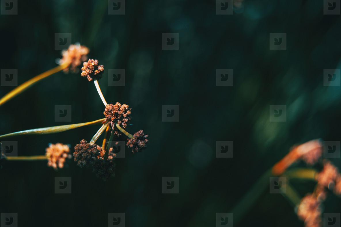 Dorycnium rectum plant on a black background