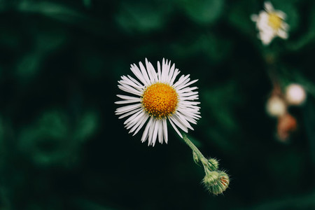 a single flower with white erigeron petals