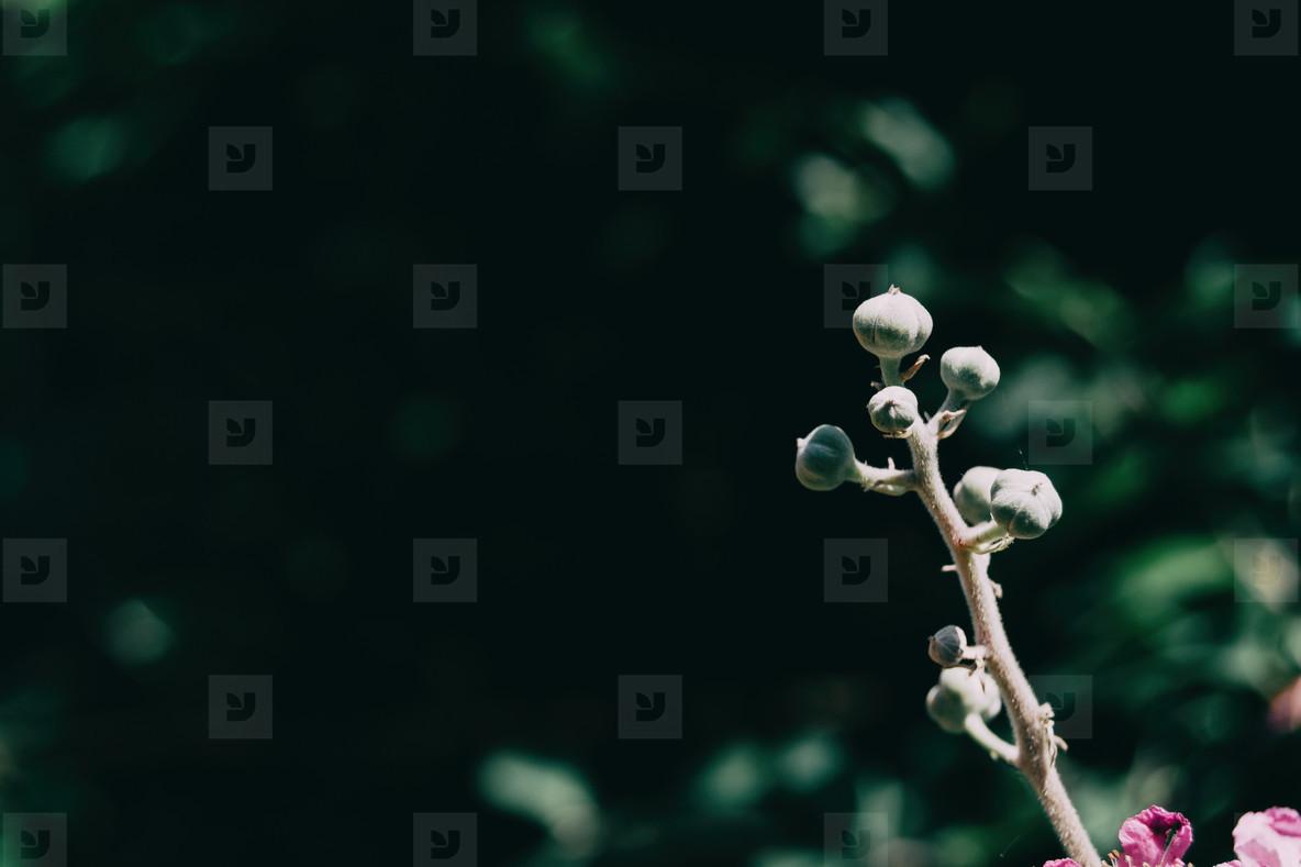 Rosacea flower of rubus ulmifolius illuminated by sunlight