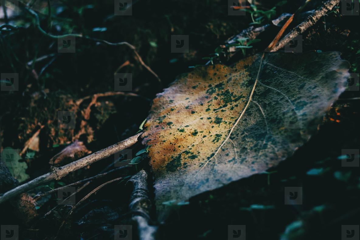 fallen leaf of a yellowish populus tree