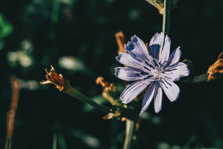 a single flower of Common chicory lilac on a dark background