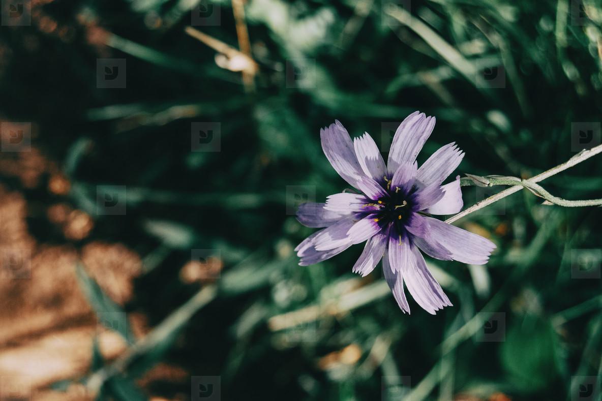 lilac catanache flower on a dark background