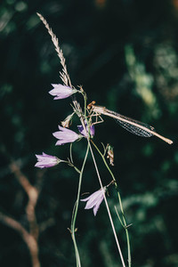 dragonfly perched on top of a lilac campanula flower in a field
