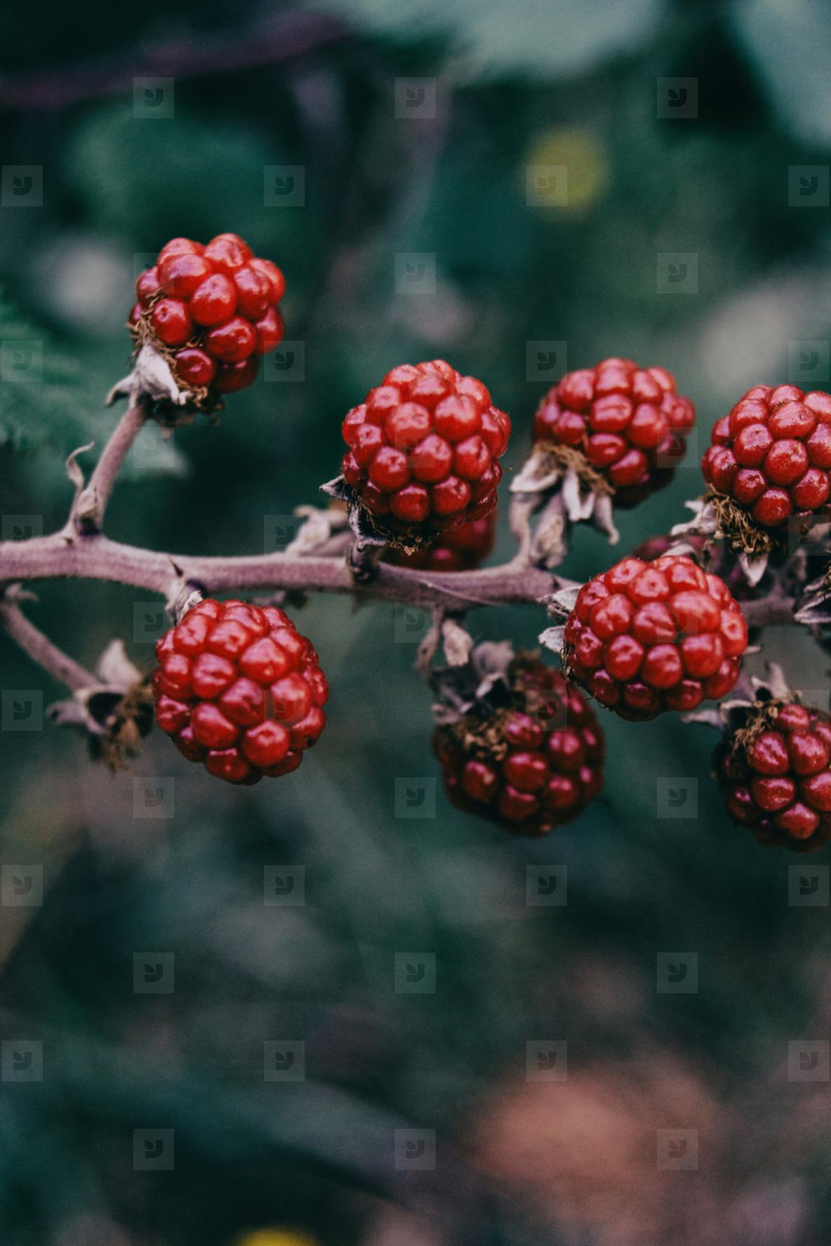 edible red berries of rubus in a field