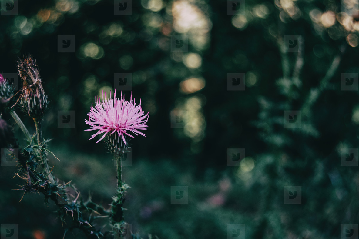 nice lilac cirsium flower on a dark background