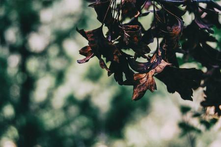 brown leaves of quercus ilex