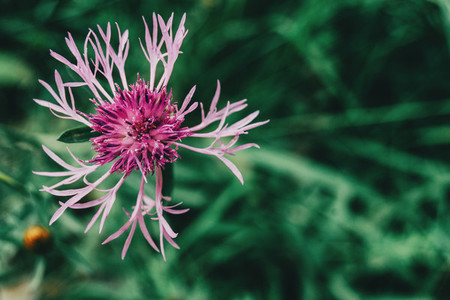 pretty pink flower of centaurea seen up close
