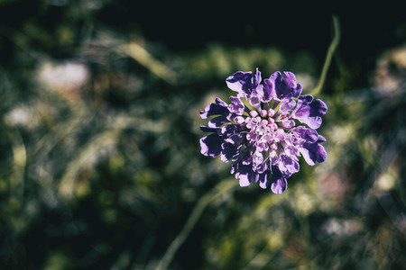 a single lilac flower of scabiosa