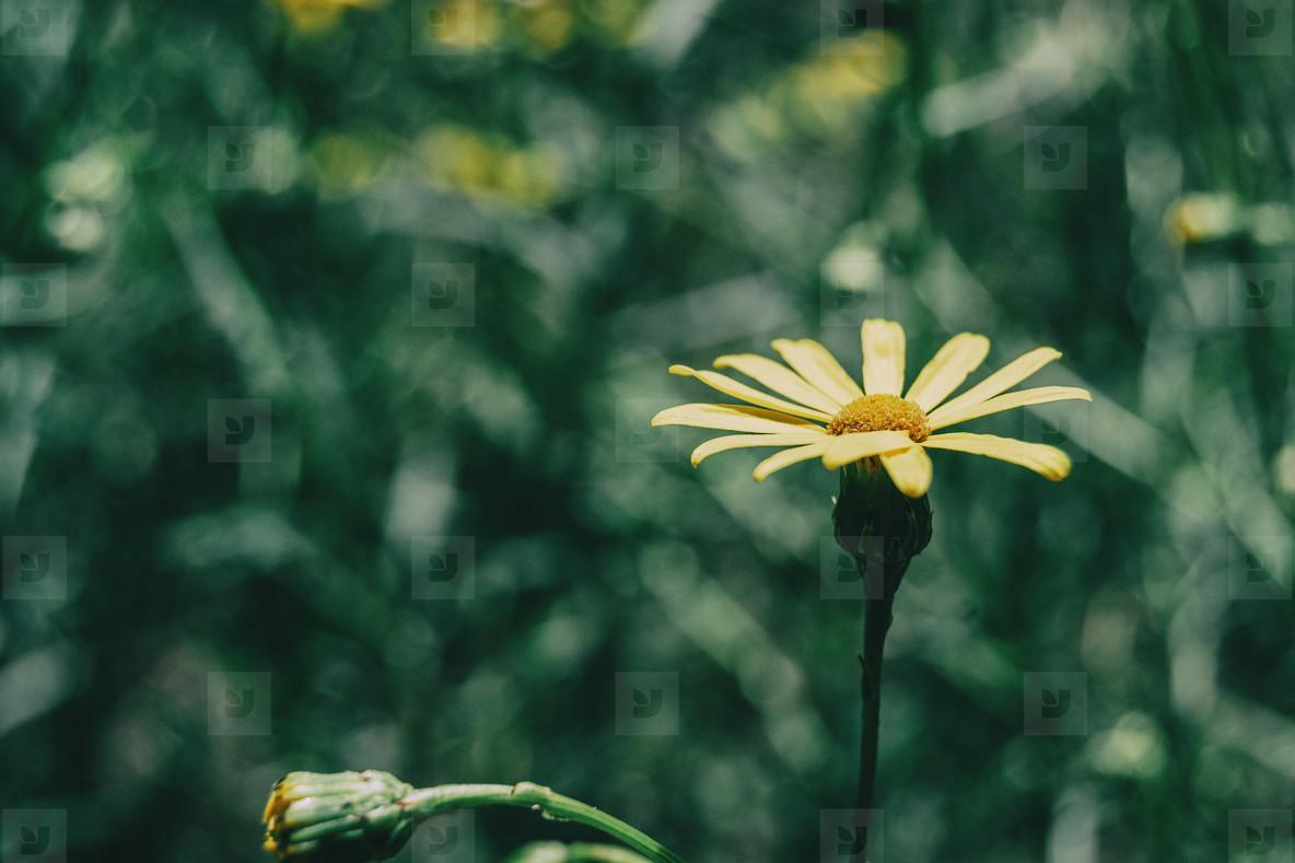 a single yellow arnica flower