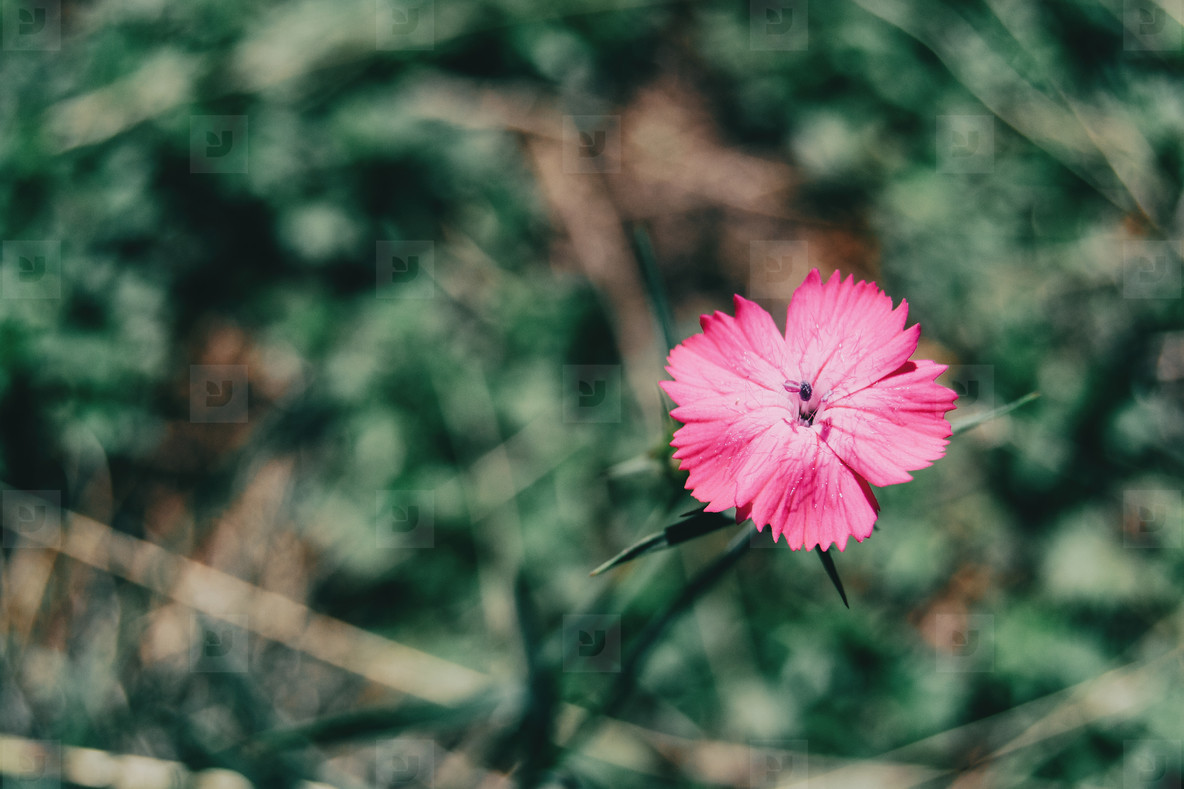 a single small dianthus flower