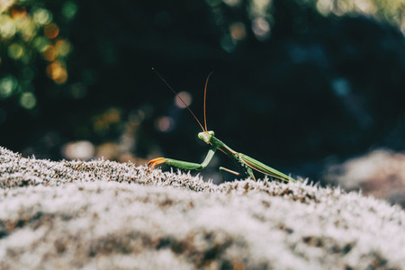 A green mantis on a rock